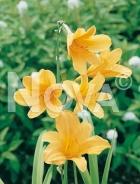 Hemerocallis ibrido giallo 277249-004