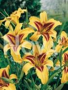 Hemerocallis ibrido giallo-rosso 277249-044