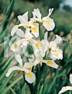 Iris hollandica bianco-giallo 277939
