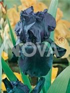 Iris germanica blu 277955