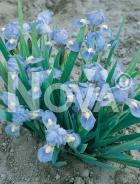 Iris germanica blu 278000-001