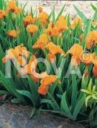 Iris germanica arancio 278000-026