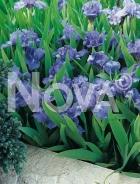 Iris germanica blu 278000-033