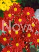 Crisantemo rosso 272019-014