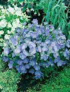 Campanula carpatica blu 272060