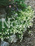 Campanula semplice bianca 272067