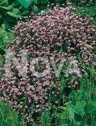 Gissofila paniculata rosa 276127