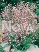 Gissofila paniculata rosa 276130
