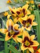 Hemerocallis ibrido giallo-rosso 277230