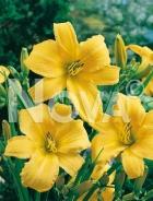Hemerocallis ibrido giallo 277249-045