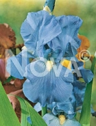 Iris germanica blu 277950