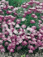 Iberis umbellata mix 278023