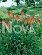 Kniphofia arancio 280004