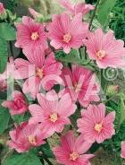 Lavatera rosa 281751