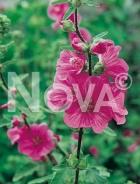 Lavatera rosa 281764