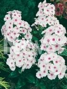 Phlox bianco 285078