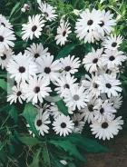 Dimorfoteca bianca 284451