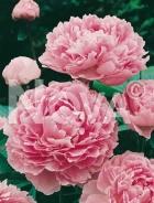 Paeonia rosa 285633
