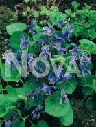 Viola mammola blu 290400