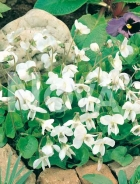 Viola mammola bianca 290405