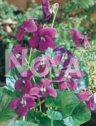 Viola mammola 290410