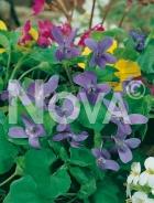 Viola mammola 290419