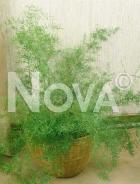 Asparago sprengerii 351701