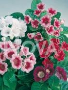 Gloxinia miscuglio 368202