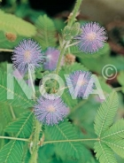 Mimosa pudica o sensitiva 370401