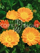 Calendula officinale 40-1417