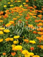 Calendula officinale 40-1492