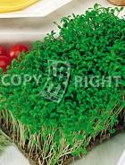Crescione comune 40-1275