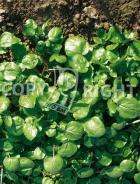Crescione di fonte 40-1500