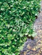 Crescione di fonte 40-1504