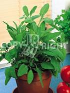 Salvia officinale 40-1323