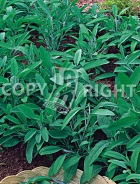 Salvia officinale 40-1324