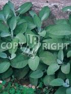 Salvia officinale 40-1432