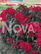 Amaranto tricolor 500806