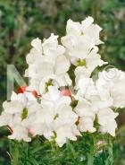 Bocca di leone alta bianca 501178