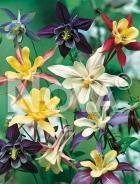 Aquilegia a fiore semplice mix 502151