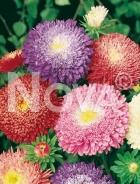 Astro bouquet mix 502481