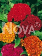 Celosia cresta di gallo mix 516254