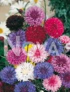Centaurea o fiordaliso mix 516759