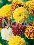 Gaillardia pulchella 546901