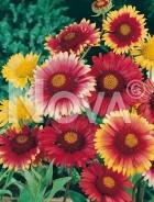 Gaillardia bicolore a grandi fiori 546909