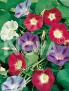 Ipomea grandiflora mix 554351