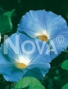 Ipomea grandiflora blu 554352