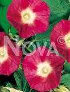 Ipomea grandiflora rossa 554354