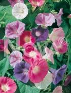 Ipomea grandiflora mix 554357