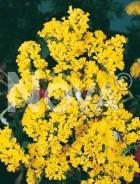 Statice giallo 560716